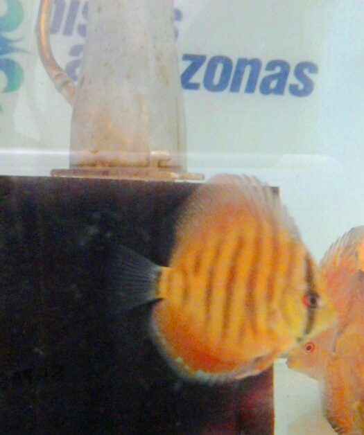 Discus Virgin Red