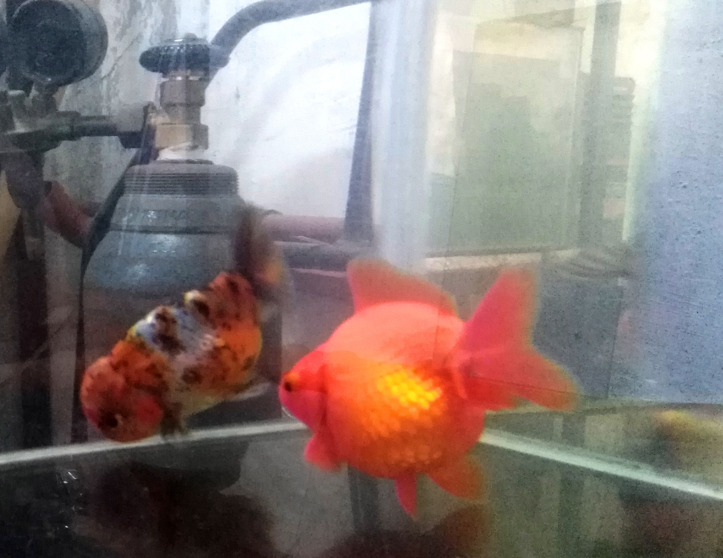 Reproductores Ranchu