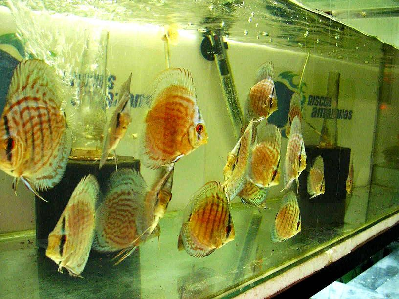Discus Red Turquesa