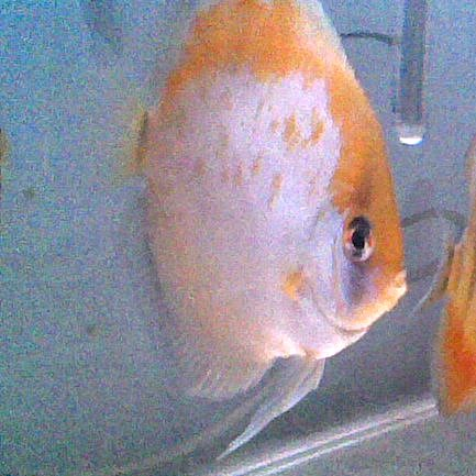 Discus Ghost Calico